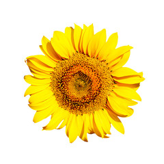Sunflower blossom isolated on white background