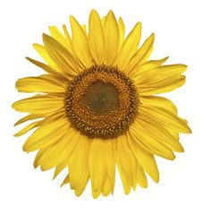 Sonnenblume Blüte freigestellt