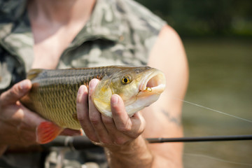 Big freshwater chub caught on a bait