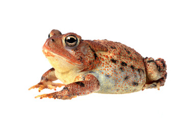 Fat Toad Lounging, Isolated on White