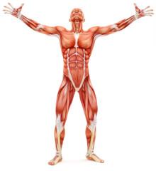 Male musculoskeletal system looking upward