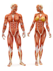 Male and Female musculoskeletal system