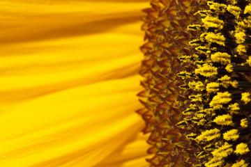 Blütenpollen Allergiker Detail einer Sonnenblumenblüte