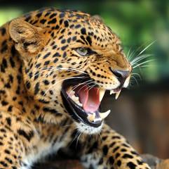 In de dag Luipaard Leopard portrait