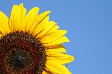 fleur de tournesol sur fond de ciel bleu