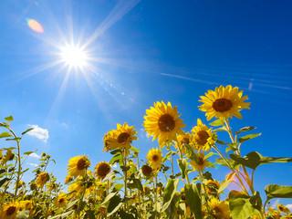 Fotobehang Zonnebloem Sunflowers field