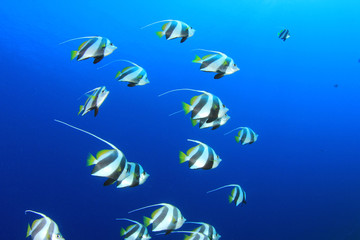 Schooling Bannerfish in blue water