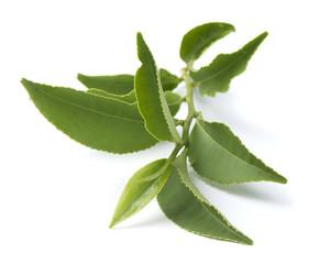 Tea branch