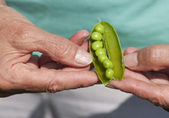 Woman Hand Hold Cracked Pea Pod