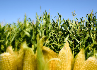 Cornfield and corn on cob