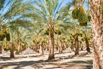 Boulevard of Date Trees