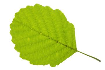 alder tree leaf
