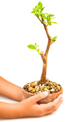 Hands holding a pot with a young tree isolated on white