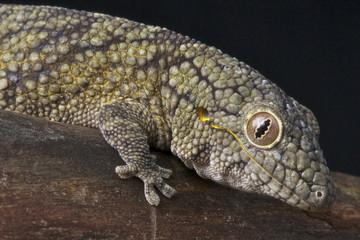 Chameleon gecko / Eurydactylodes vieillardi