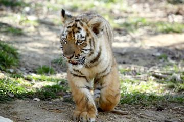 tigre de Sibérie (Panthera tigris altaica)