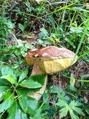 Big Boletus Mushroom - Porcino in Italian Woods