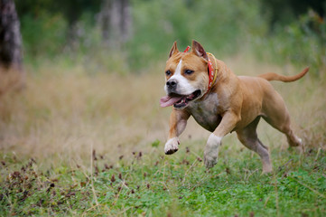 american staffordshire terrier run