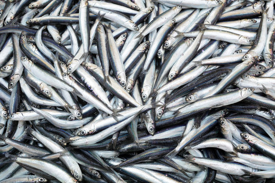 Heap of small Mediterranean fish at market anchovy