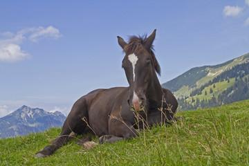 Braunes Pferdefohlen