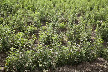 Field of growing apple saplings with selective focus