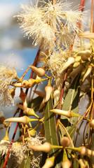 Australian native eucalytus flowerbuds