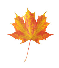 colorful autumn maple leaf isolated on white background