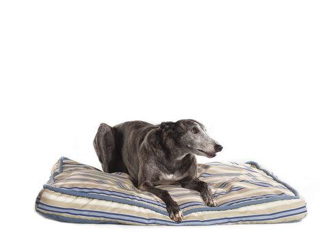 lying greyhound