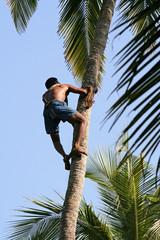 gathering coconuts