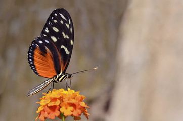 Tiger Longwing butterfly feeding on flower