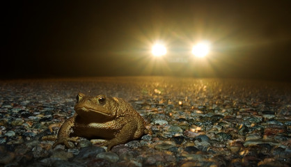 Frog crossing the road at night