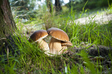 Three mushrooms - (Borowik edulis)