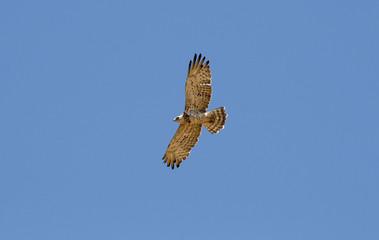 Aguila culebrera volando