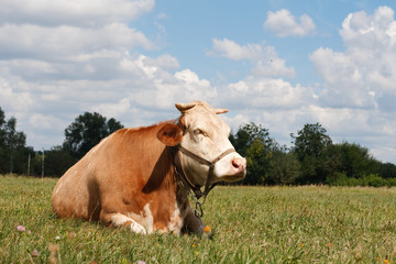 Wall Murals Cow Cow resting in a pasture