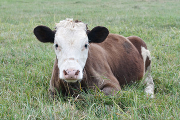 Cow calf lying in the grass