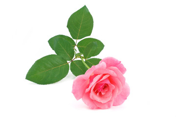 Pink rose flower cutted