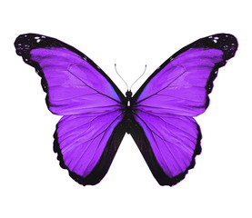 Morpho violet butterfly , isolated on white