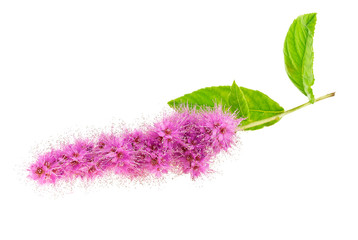 Branch of a pink fluffy flower.