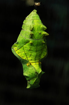 Close up of chrysalis of butterfly
