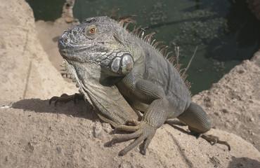 Green iguana male / Iguana iguana