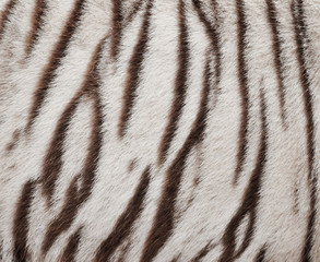 white bengal tiger fur