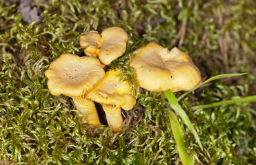 chanterelles in a moss