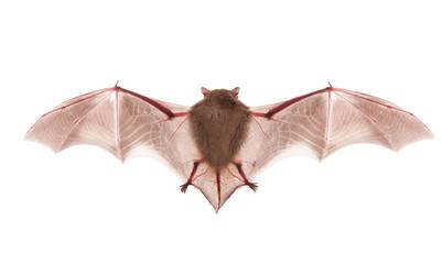 bat on the white background