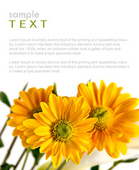 Isolated yellow flowers with copy space