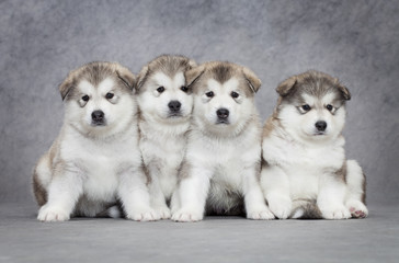 Four malamute puppies