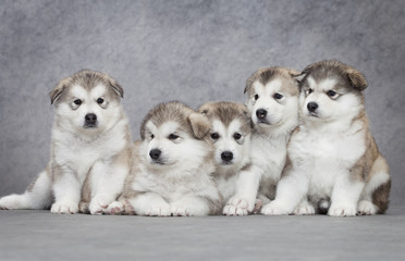 Five malamute puppies