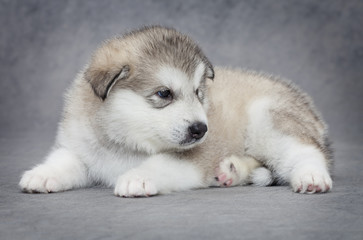 One month old Alaskan malamute puppy