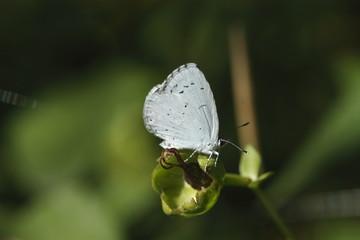 Papillon gris bleuté
