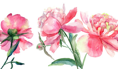Beautiful Peonies flowers, Watercolor painting