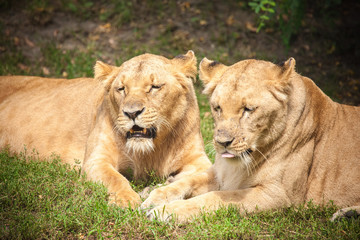 Close-up of Lionesses