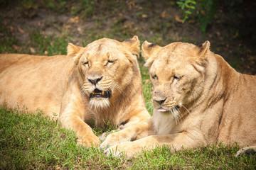 Close-up of Lionesses